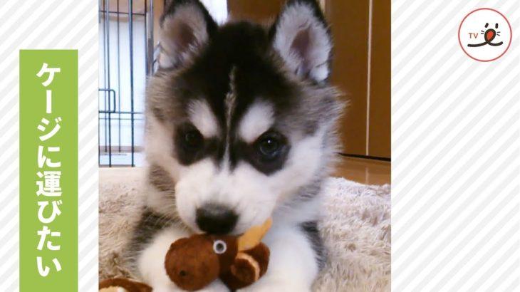 お気に入りのおもちゃをケージに…💓 ハスキーの子犬の、かわいすぎる奮闘🙌【PECO TV】