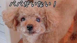 おしゃべりをする犬が可愛い!! トイプードルのTaruto&Rasuku