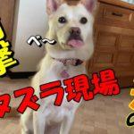 元保護犬のお留守番を盗撮!その2 前回の動画には衝撃の続きがあった・・・