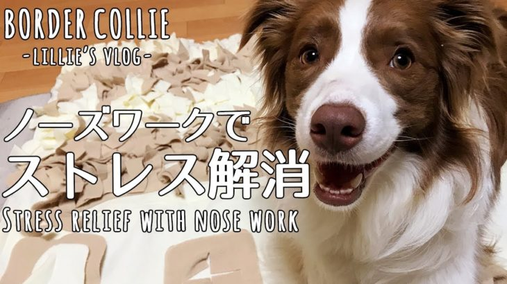 雨の日でもストレス発散!!頭を使う室内遊び (ボーダーコリー1歳7ヶ月) / Stress relief with nose work