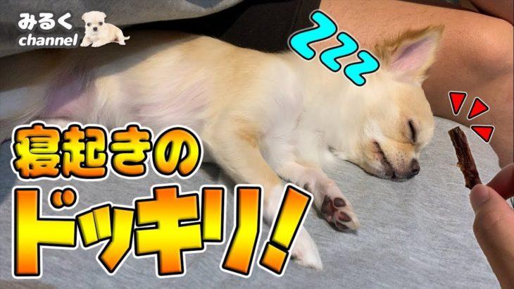 【ドッキリ】寝ている犬に突然おやつを近づけると!?ハプニングに驚くチワワ