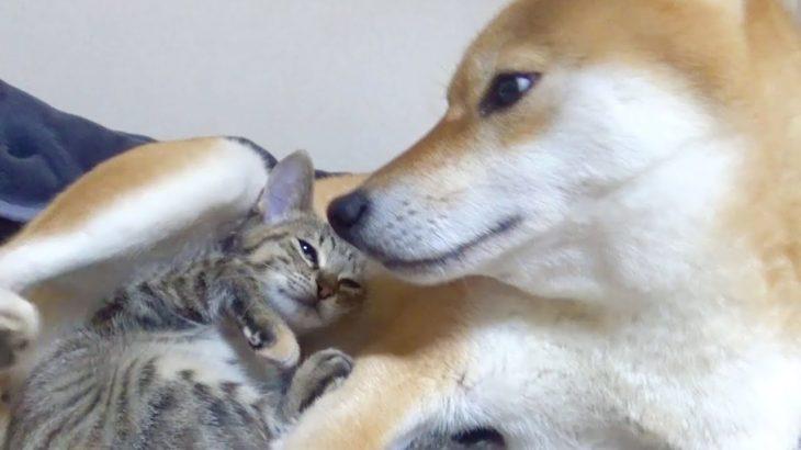 【柴犬と子猫】飼い主もビックリ!種を超えた親子愛誕生!–Parent-child love of dogs and kittens–