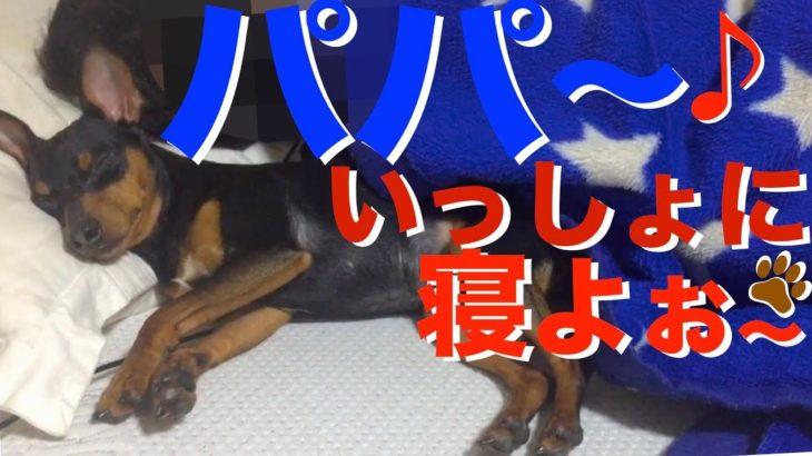 どうしても大好きなパパと一緒に寝たい犬がかわいい【ミニピン 力田力男】